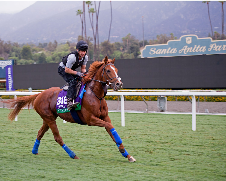 Ulysses<br /> Works at Santa Anita in preparation for 2016 Breeders' Cup on Nov. 1, 2016, in Arcadia, CA.