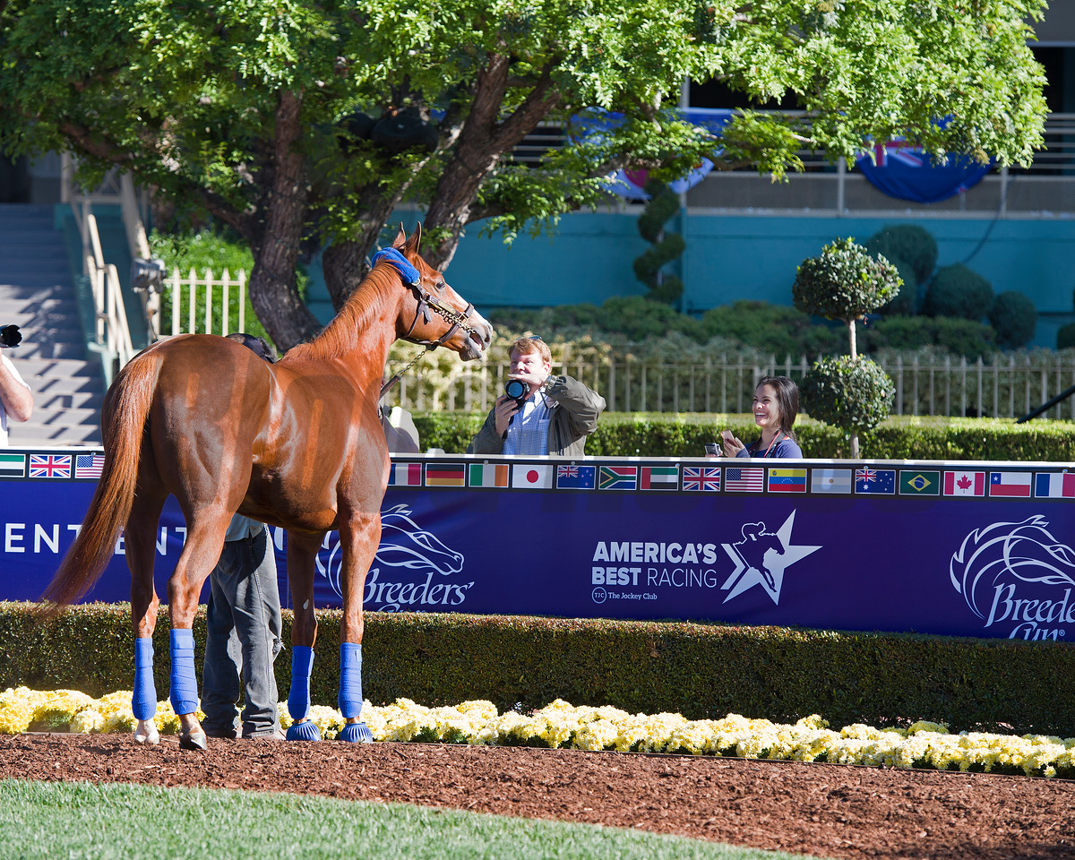 Stellar Wind stops in the paddock to pose for fans<br /> Morning scenes at Santa Anita in preparation for 2016 Breeders' Cup on Nov. 2, 2016, in Arcadia, CA.