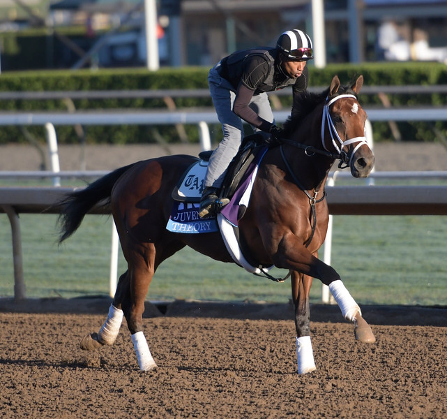 Theory is out for a gallop at Santa Anita Nov. 2, 2016 in preparation for his appearance in the Breeders' Cup in Arcadia, California.  Photo by Skip Dickstein