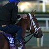 Lady Shipman out for a gallop at Santa Anita Nov. 2, 2016 in preparation for her appearance in the Breeders' Cup in Arcadia, California.  Photo by Skip Dickstein