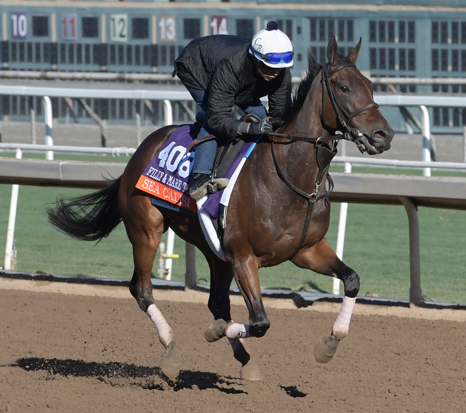 Sea Calisi is out for a gallop at Santa Anita Nov. 2, 2016 in preparation for her appearance in the Breeders' Cup in Arcadia, California.  Photo by Skip Dickstein