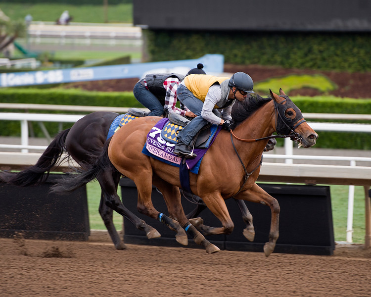 American Gal<br /> Works at Santa Anita in preparation for 2016 Breeders' Cup on Nov. 1, 2016, in Arcadia, CA.