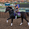 Tourist, Mile<br /> Works at Santa Anita in preparation for 2016 Breeders' Cup on Oct. 29 2016, in Arcadia, CA.