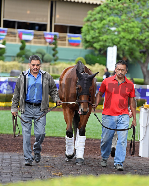 Beholder Schooling at Santa Anita.<br /> Works at Santa Anita in preparation for 2016 Breeders' Cup on Oct. 30, 2016, in Arcadia, CA.