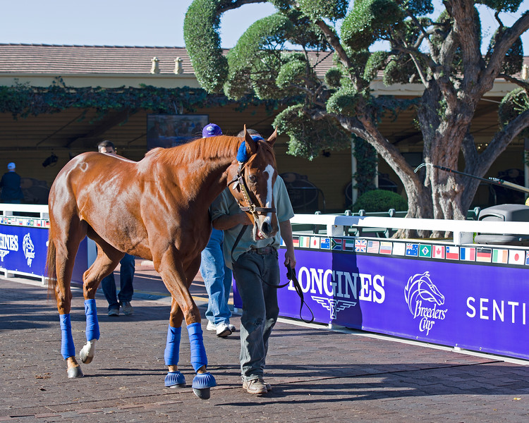 Stellar Wind<br /> Morning scenes at Santa Anita in preparation for 2016 Breeders' Cup on Nov. 2, 2016, in Arcadia, CA.