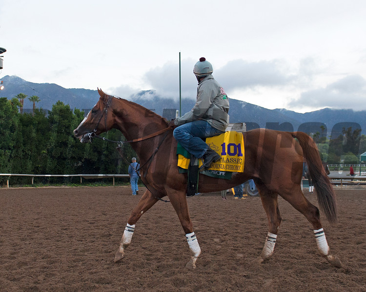 California Chrome<br /> Works at Santa Anita in preparation for 2016 Breeders' Cup on Oct. 31, 2016, in Arcadia, CA.