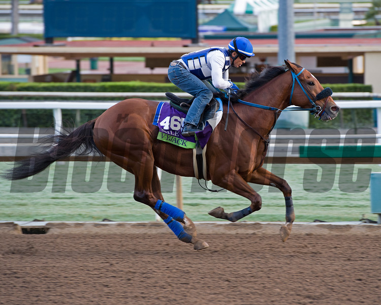 Vyjack, Mile.<br /> Works at Santa Anita in preparation for 2016 Breeders' Cup on Oct. 29 2016, in Arcadia, CA.