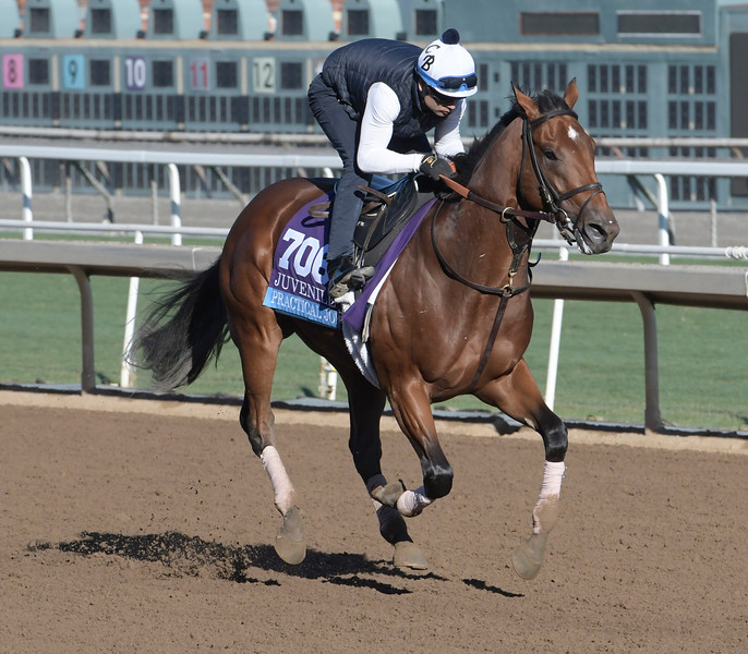 Practical Joke is out for a gallop at Santa Anita Nov. 2, 2016 in preparation for his appearance in the Breeders' Cup in Arcadia, California.  Photo by Skip Dickstein
