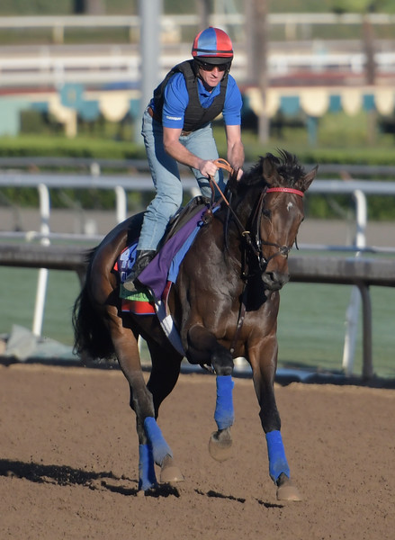 Miss Temple City gallops at Santa Anita Nov. 2, 2016 in preparation for her appearance in the Breeders' Cup in Arcadia, California.  Photo by Skip Dickstein