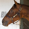 Beholder at barn day after<br /> Morning scenes at Santa Anita in preparation for 2016 Breeders' Cup on Nov. 3, 2016, in Arcadia, CA.