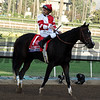 Songbird after finishing second in the 2016 Breeders' Cup Distaff<br /> Dave Harmon Photo