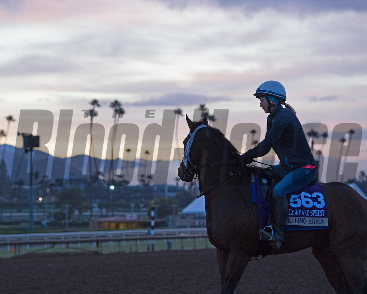 Spelling Again scene<br /> Works at Santa Anita in preparation for 2016 Breeders' Cup on Oct. 31, 2016, in Arcadia, CA.