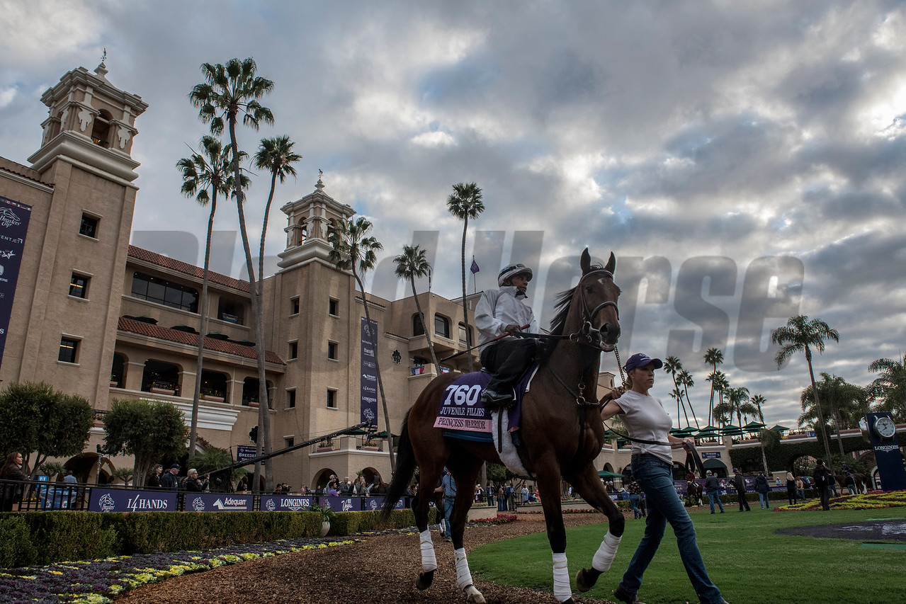 Breeders' Cup entrant Princess Warrior is taken out for morning exercise in the paddock under a beautiful sky at Del Mar Nov. 2, 2017.  Photo by Skip Dickstein
