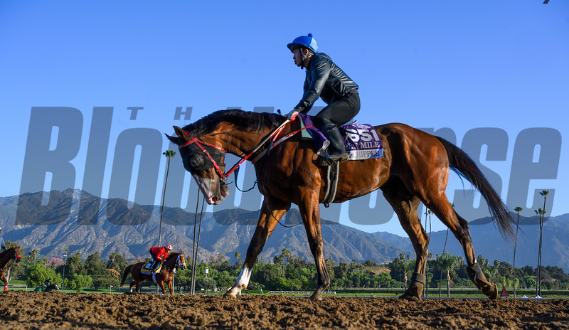Blue Chipper returns to the barn after a gallop at Santa Anita Race Course Wednesday October 30, 2019 in Arcadia, CA.  Photo by Skip Dickstein