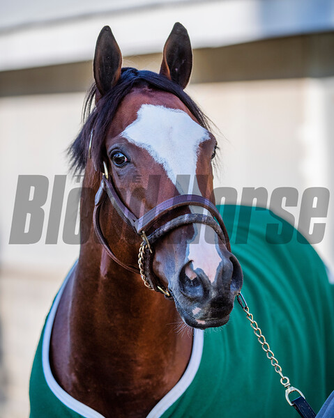 Tiz the Law stands up for a portrait at Keeneland Race Course Monday Nov. 2 2020 in Lexington, KY.  Photo by Skip Dickstein