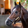 Imperial Hint Sunday Oct. 28, 2018 before the Breeders' Cup at Churchill Downs in Louisville, KY Photo by Skip Dickstein