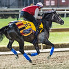 Roaring Lion out for morning exercise Tuesday Oct. 30, 2018 at Churchill Downs in preparation for the 2018 Breeders' Cup in Louisville, KY.  Photo by Skip Dickstein