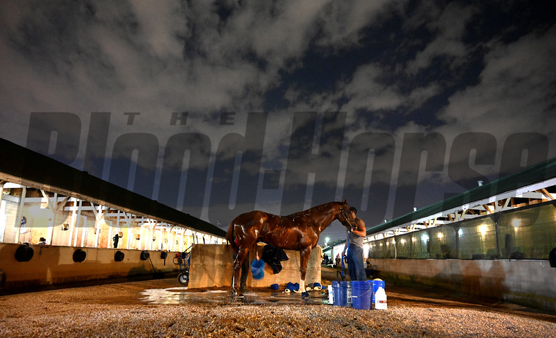 Collected gets a bath after time on track for his morning exercise before the Breeders' Cup at Churchill Downs for morning exercise Wednesday Oct. 31, 2018 in Louisville, KY.  Photo by Skip Dickstein