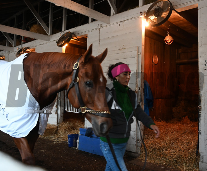Monomoys Girl after her work Sunday Oct. 28, 2018 before the Breeders' Cup at Churchill Downs in Louisville, KY Photo by Skip Dickstein