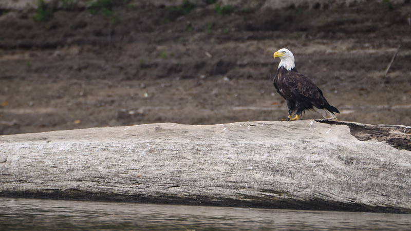 Eagles, Egrets Newport Wabash River HRI