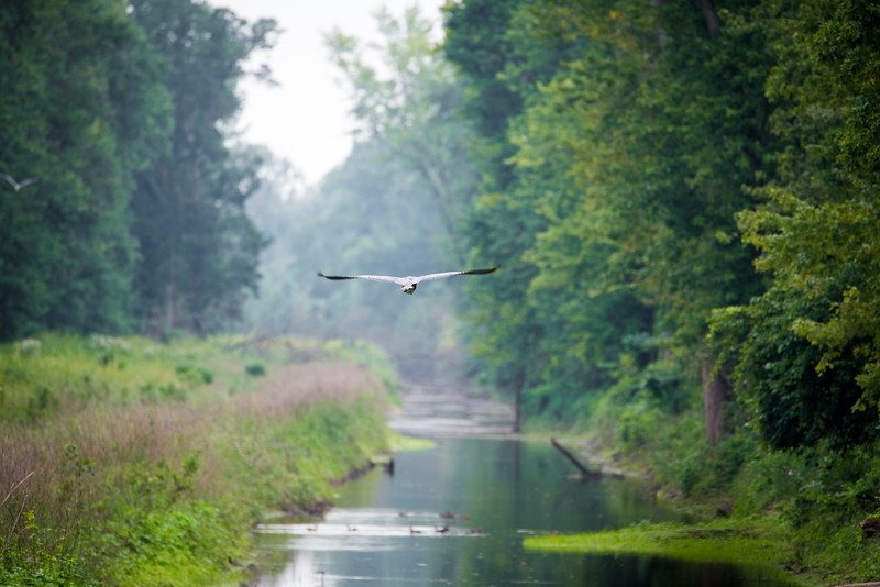 Great Blue Heron over canal near the Wabash River, Southern Vigo