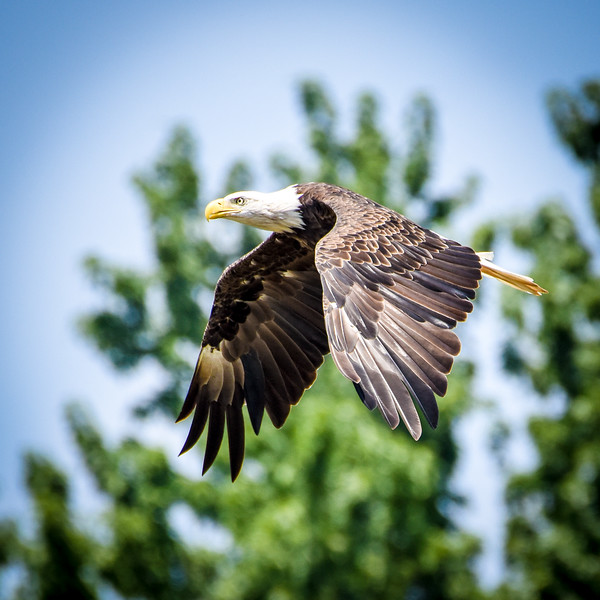 FB Bald Eagle Wabash River Square Crop-1