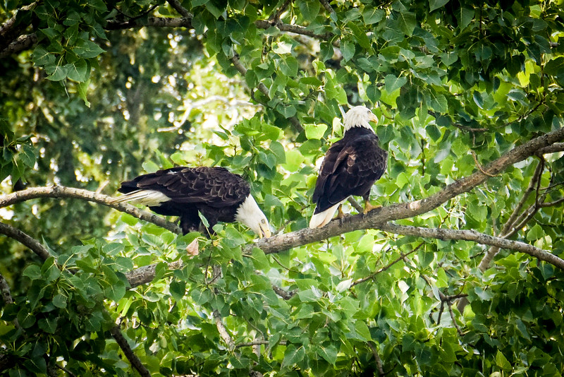 Two Bald Eagles eating on a tree over Wabash River in Vigo County August 2017