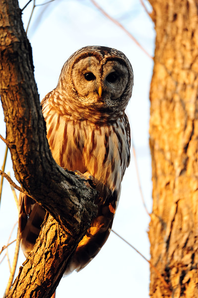 Barred Owl in our backyard during a sunset.