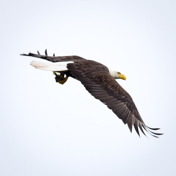 FB Eagle Flys Away With Fish -1