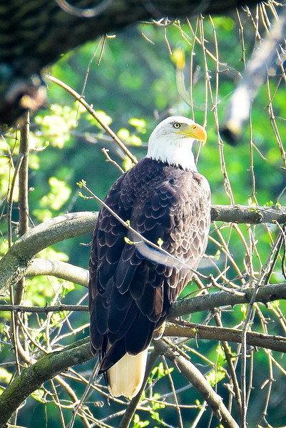 FB Bald Eagle Terre Haute Lagoons-1