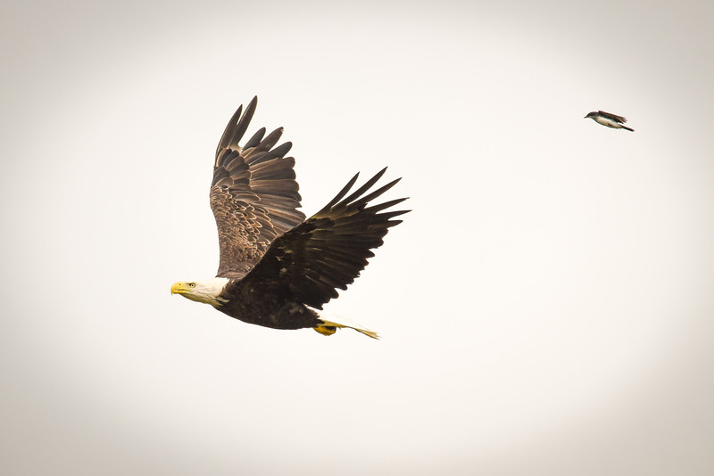 Bald Eagle being chased by small bird Wabash River Vigo County
