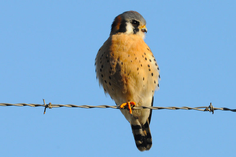 Kestrel Falcon Merlin