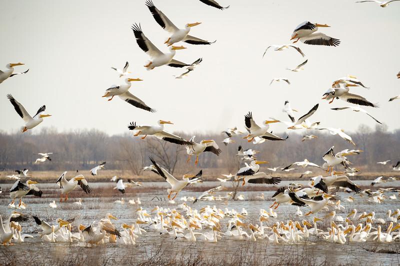 American White Pelicans GPFWA
