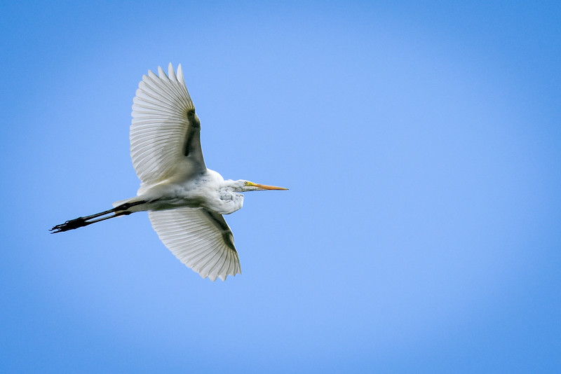 Great Egret over Wabash River Vemillion County