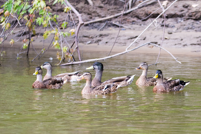 Wabash River Six Ducks on West Bank August 2017 Vigo County