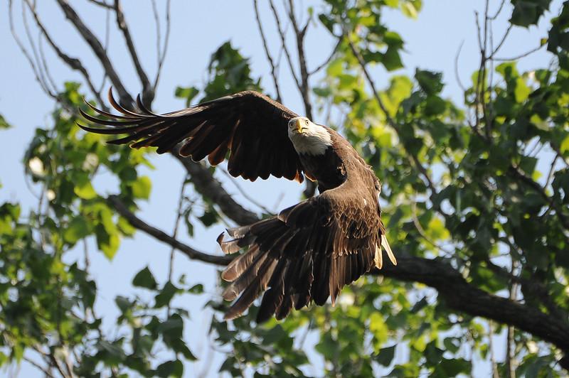 Eagle Eagles