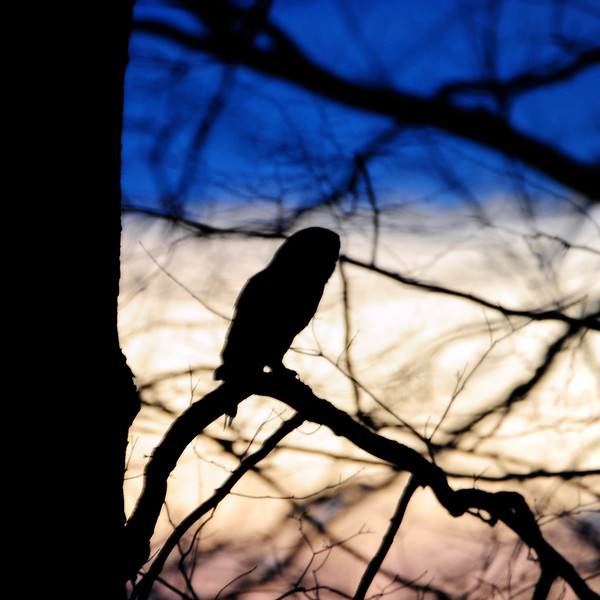 Owl at sunset Vigo County