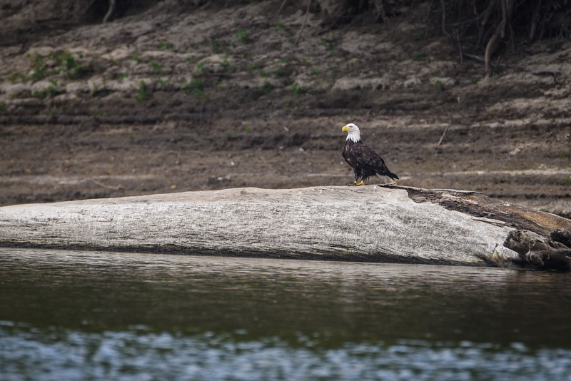 Bald Eagle Newport Wabash River August 2017