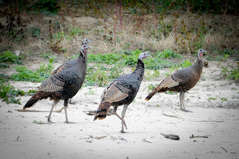 Turkeys Wabash River Bottoms Turkey