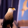 American Eagle Foundation presenting their live Raptor show at the Sandhill Crane Festival at Birchwood TN.   This is a Crested Caracara.