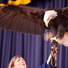 American Eagle Foundation presenting their live Raptor show at the Sandhill Crane Festival at Birchwood TN.   Mr. Lincoln - American Bald Eagle