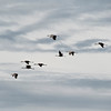 Sandhill Cranes flying into a field to feed.  Hiwassee Wildlife Refugee