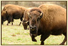 Bison at the Homeplace.  If you get too close these Bison become very aggressive.