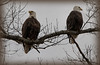 Nesting Eagle pair at Fort Donelson.  These Eagles have been permanent residences at Fort Donelson for nine years
