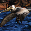 Brown Pelican flying by Zodiac in the Sea of Cortez - Image taken by Trudy