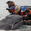 "Petting the Gray Whales in the Laguna San Ignacio  on the Pacific side of Baja.  This was one of those ""National Geographic moments"". This experience changed my life !!"