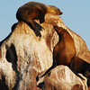 California Sea Lions at rookery on Los Islotes  - From a zodiac  of  the Lindblad / National Geographic Sea Lion in the Sea of Cortez.