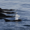 Pilot Whale family (dad,mom,&the kids)  - From the deck of  the Lindblad / National Geographic Sea Lion in the Sea of Cortez.