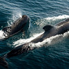 Pilot Whales  - From the deck of  the Lindblad / National Geographic Sea Lion in the Sea of Cortez.