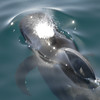 Pilot Whale blowing as it surfaces - From the deck of  the Lindblad / National Geographic Sea Lion in the Sea of Cortez.
